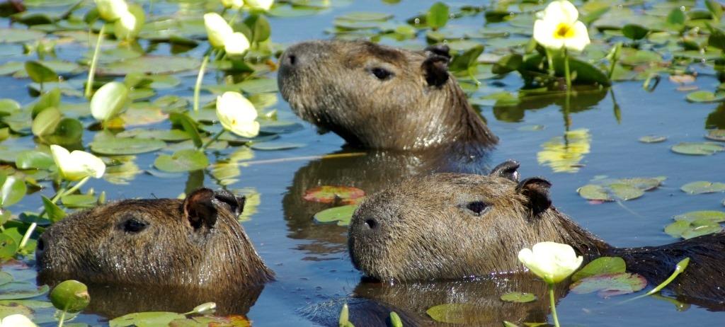 Wasserschweine Argentinien