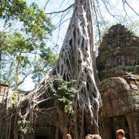 cotravel Reise Laos & Kambodscha Silvester 2014 mit Kurt Aeschbacher_Würgefeige
