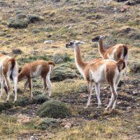 cotravel Reise-Blog BERICHT_Patagonien & Feuerland März 2015_Felix Blumer_Guanakos