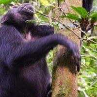 uganda-schimpansen-blog