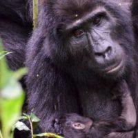 uganda-reise-gorilla-mutter-baby
