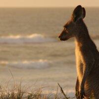 Studienreise-Australien-Känguru