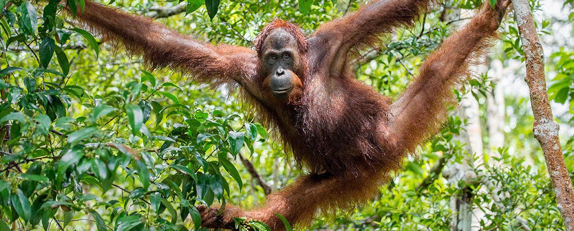Studienreise-Borneo-Orang-Utan