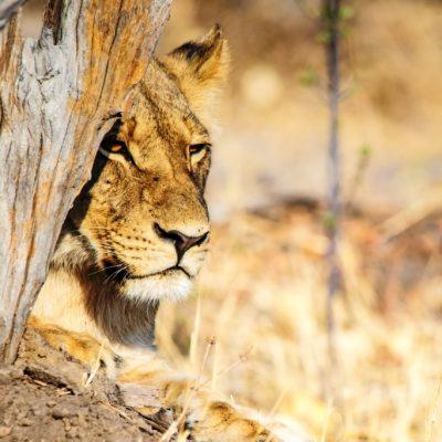 african-explorer-Simbabwe-4-Hwange-Löwe