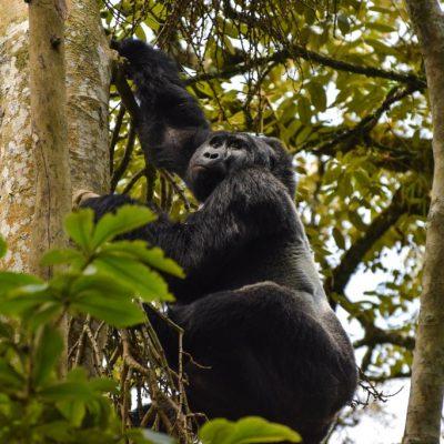 uganda-reise-23-gorilla